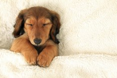Dachshund puppy